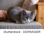 grey cat  shot indoors | Shutterstock . vector #1029641605