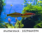 pair of denison's barbs ... | Shutterstock . vector #1029664594