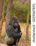 a large silverback gorilla...   Shutterstock . vector #1029667891