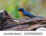 beautiful blue bird  male of... | Shutterstock . vector #1029696655