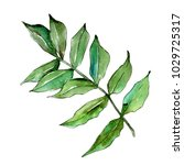 ash leaves in a watercolor... | Shutterstock . vector #1029725317