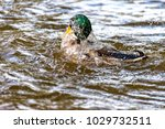 Small photo of A Male duck swims on the river Saale and dives again and again