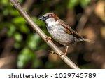 male sparrow bird | Shutterstock . vector #1029745789