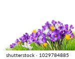 beautiful crocus flowers in... | Shutterstock . vector #1029784885