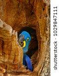 Small photo of Nesting behaviour. Hyacinth Macaw, Anodorhynchus hyacinthinus, in tree nest cavity, Pantanal, Brazil, South America. Detail portrait of beautiful big blue parrot nature habitat. Macaw in nest hole.
