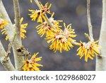 hamamelis 'brevipetala' in... | Shutterstock . vector #1029868027