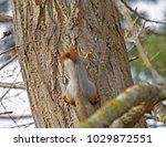 beautiful fluffy squirrel on... | Shutterstock . vector #1029872551
