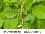 Hairy Caterpillar On Green...