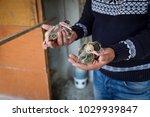 baby pigeon in the hand of... | Shutterstock . vector #1029939847
