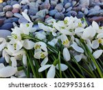 snowdrop flowers on pebble... | Shutterstock . vector #1029953161