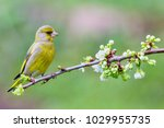 Male Eurasian Greenfinch ...