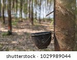 latex flows from para rubber... | Shutterstock . vector #1029989044