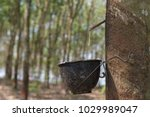 latex flows from para rubber... | Shutterstock . vector #1029989047