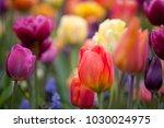 orange tulip on a multicolor... | Shutterstock . vector #1030024975