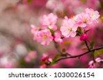 close up shot of pink cherry... | Shutterstock . vector #1030026154