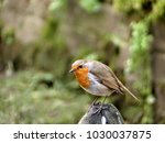 a robin perched on a rock...   Shutterstock . vector #1030037875