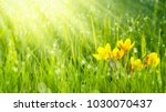 sunshine on crocuses in meadow | Shutterstock . vector #1030070437
