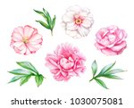 watercolor realistic drawing of ... | Shutterstock . vector #1030075081