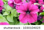 pink petunia on flowerbed with... | Shutterstock . vector #1030104025