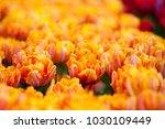 orange princess colorful tulips ... | Shutterstock . vector #1030109449