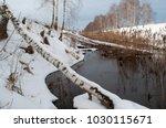 A Fallen Birch  Beavers Build ...