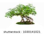 bonsai tree isolated on white... | Shutterstock . vector #1030141021