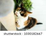 sweet kitten is scratching at... | Shutterstock . vector #1030182667