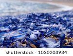 Blue Jelly Fish  Velella...