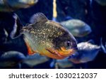 The red bellied piranha or red...