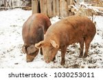 meat breed of pigs duroc. pigs... | Shutterstock . vector #1030253011