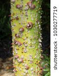 spikes on the trunk of the... | Shutterstock . vector #1030277719