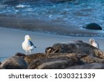Sea Gull By A Group Of Seals I...
