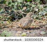california thrasher  toxostoma... | Shutterstock . vector #1030330324