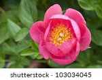 Coral pink peony in the garden. - stock photo