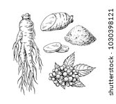 ginseng vector drawing. medical ... | Shutterstock .eps vector #1030398121