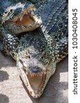 Small photo of The American crocodile (Crocodylus acutus) with open jaws.