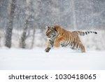 the siberian tiger  panthera... | Shutterstock . vector #1030418065