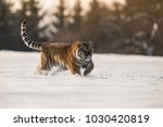 the siberian tiger  panthera... | Shutterstock . vector #1030420819