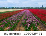 rows of dutch tulips | Shutterstock . vector #1030429471