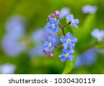 delicate forget me not flowers. | Shutterstock . vector #1030430119