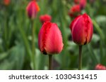 red tulips with fringed petals... | Shutterstock . vector #1030431415