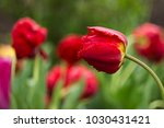 red tulips with fringed petals... | Shutterstock . vector #1030431421