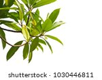 green tree branch isolated on... | Shutterstock . vector #1030446811