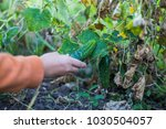 farmer collects the last crop... | Shutterstock . vector #1030504057