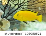Electric Yellow Cichlid Fish In ...