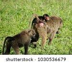 baboon baby in the serengeti  | Shutterstock . vector #1030536679