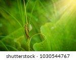 Grasshopper On The Leaf Of...