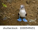 portrait of a blue footed booby ... | Shutterstock . vector #1030549651