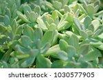green suculenta background  | Shutterstock . vector #1030577905