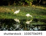 two white egret wading in the...   Shutterstock . vector #1030706095